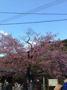 2014年3月 川津桜 (34)